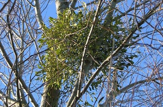 El muérdago: una planta mágica