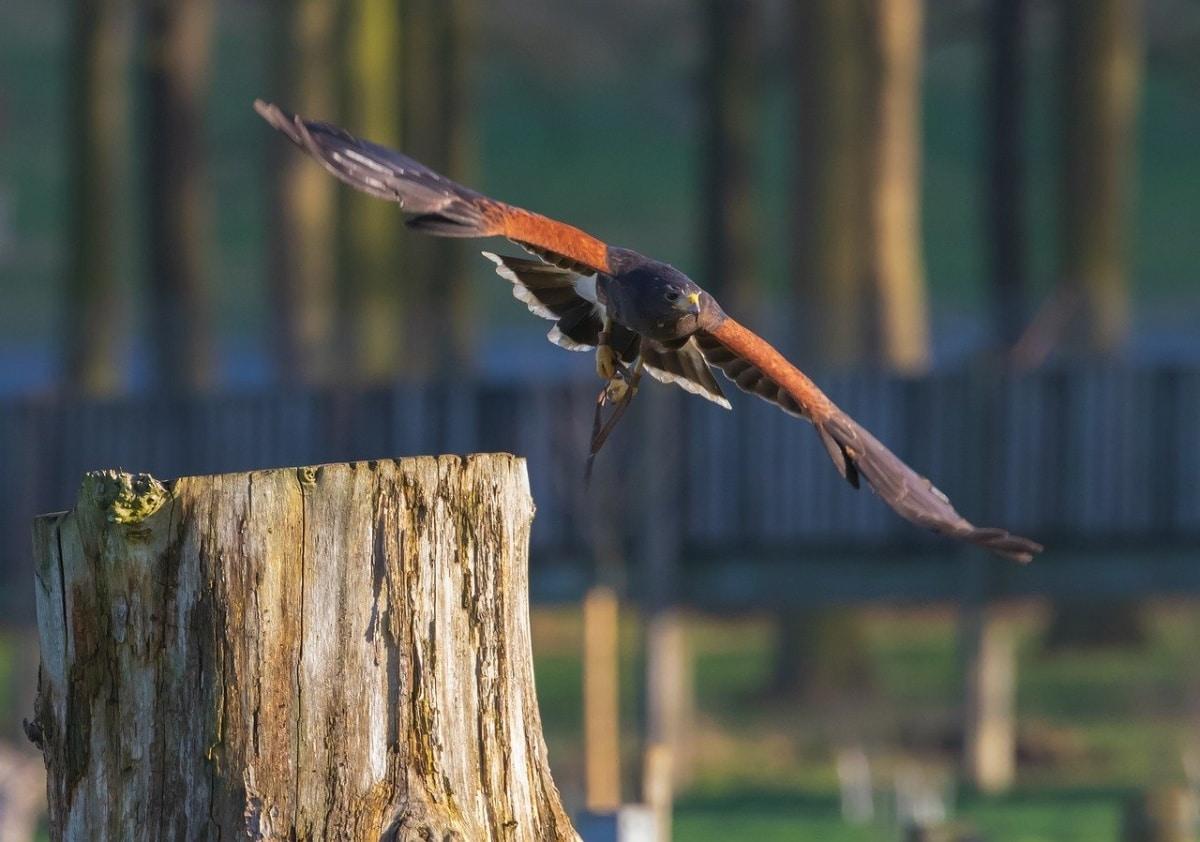 Los halcones son considerados muy listos por los mayas