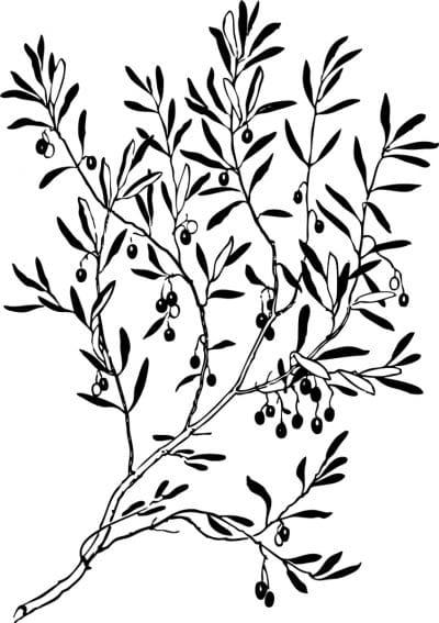 Rama de olivo en negro