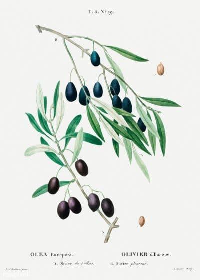 Ramas de olivo realistas, una buena inspiración para un tatuaje