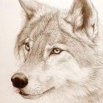 Dibujo de perro lobo blanco