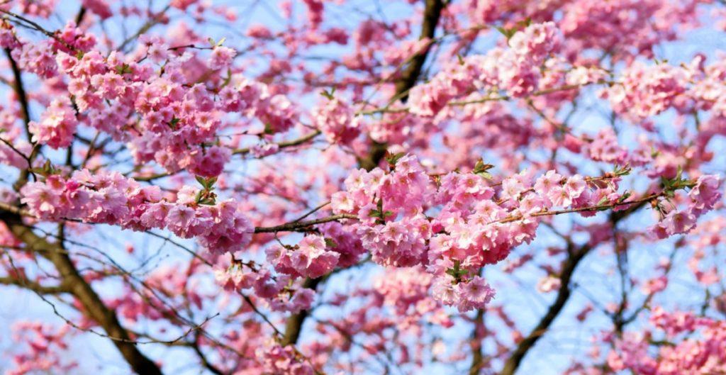 Nombres Japoneses de Mujer Sakura